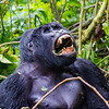 Silverback - lg one - teeth showing - Uganda-9576