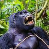 Silverback - lg one - teeth showing - Uganda-9576