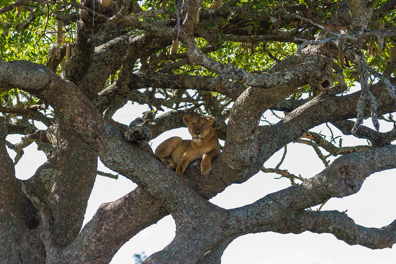 Lion in tree - Serengeti-7371