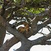 Lion in tree - Serengeti-7371