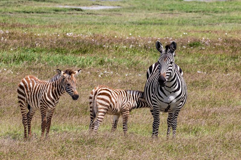 Zebra & 2 babies- Ngorongoro-6067