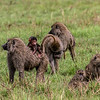 Baboons with baby - Serengeti-5999