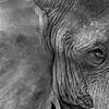Elephant closeup B&W - Ngorongoro-4699