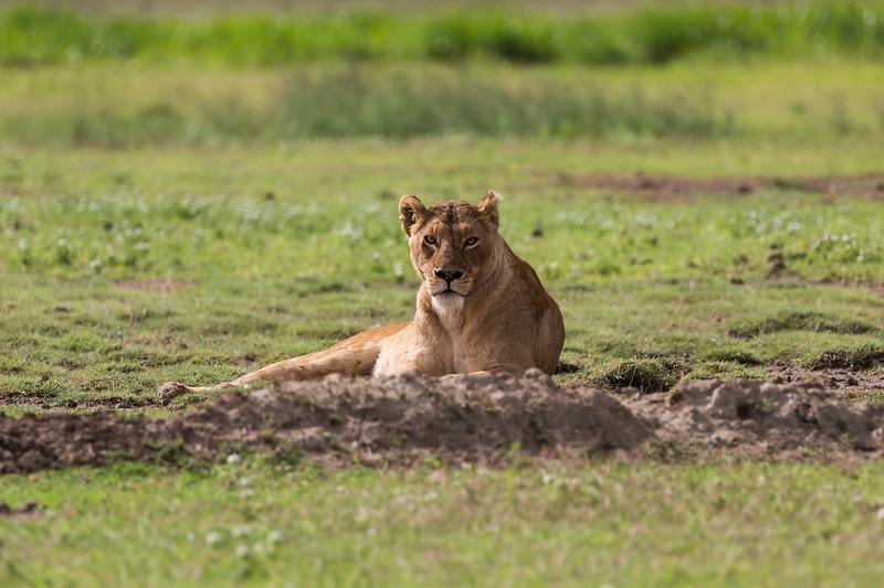Female lion staredown - Ngorongoro-6849