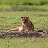 Female lion staredown - Ngorongoro-6849