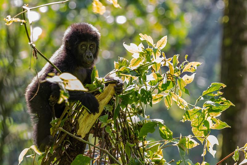 Baby gorilla in tree- Uganda-8642