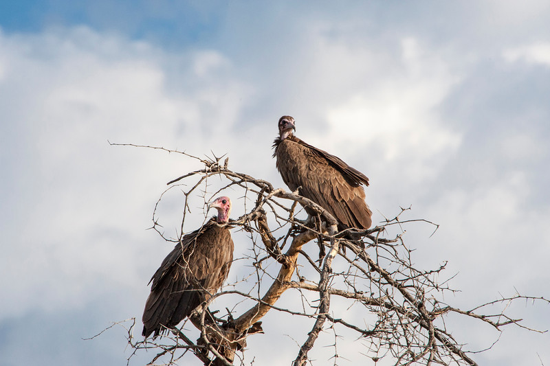 Hooded Vulture, Necrosyrtes monachus, in tree on Serengeti Plains in Tanzania.