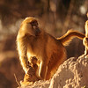 Savanna Baboon, Papio cynocephalus, at Linyanti Wildife Reserve in northern Botswana.
