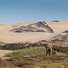 Desert-adapted African Elephants in Namibia have adapted to their dry, semi-desert environment by having a smaller body mass with proportionally longer legs and seemingly larger feet than other elephants. Their physical attributes allow them to cross miles of sand dunes to reach water.
