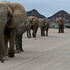 African Elephant - Namibia (desert-adapted) at Hoanib Riverbed