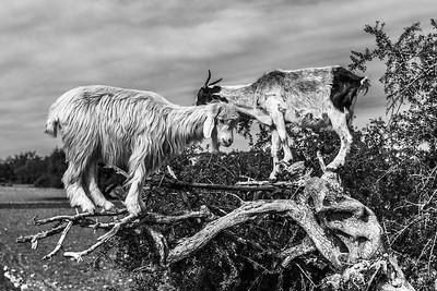 Tree goats...?!