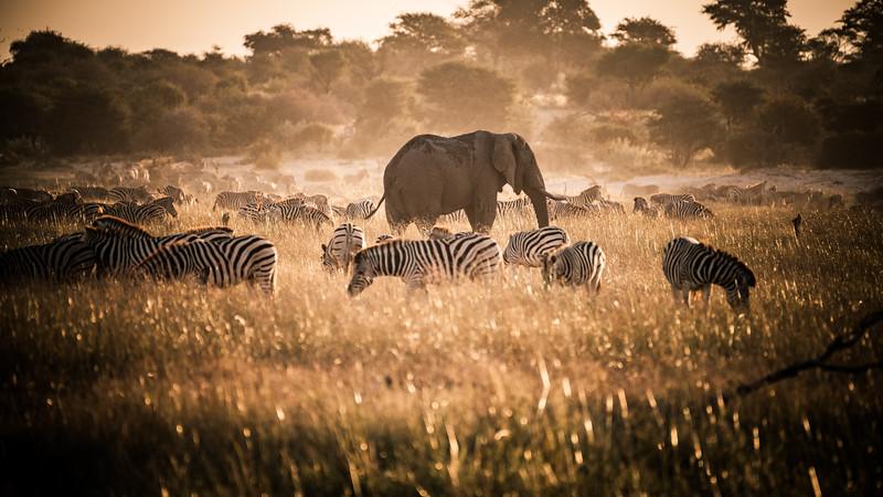 Burchell's zebras and an African elephant