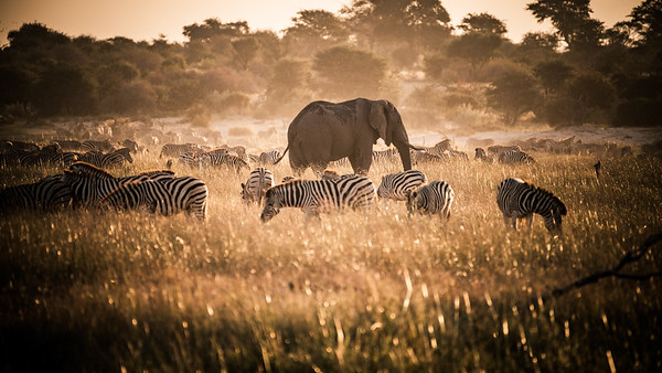 Burchell's zebras and an African elephant