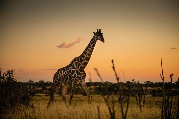South African giraffe or Cape giraffe