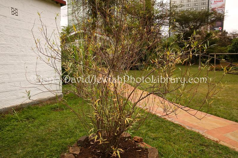 KE 432  Lulav tree