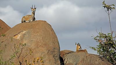 Klipspringers - small antelope that lives on the rocks