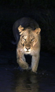 Walking through water on the hunt for the kill