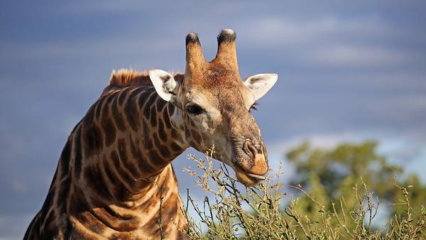 Giraffe poking his tongue out