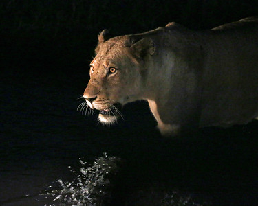 Stalking a leopard kill at night and walking through water
