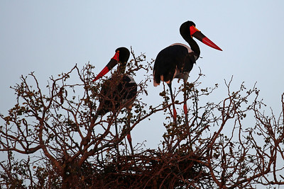 Nesting pair of Saddle Bill Storks