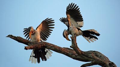 Hornbill  mating ritual