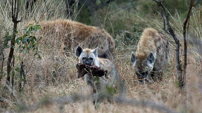 Young Hyena had meat - larger hyenas wanted it but would not attack the young hyena.  Must have been of a higher ranking in the clan.