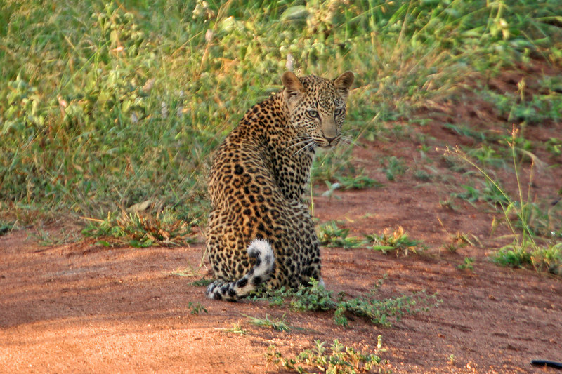 Leopard in the road