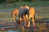 Impala and birds
