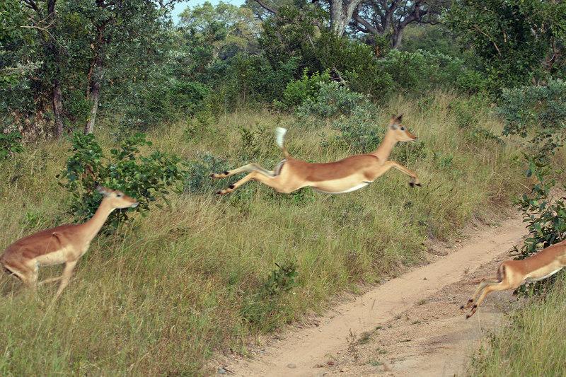 Flying Impala