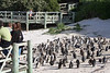 LOTS of penguins at Boulders Beach