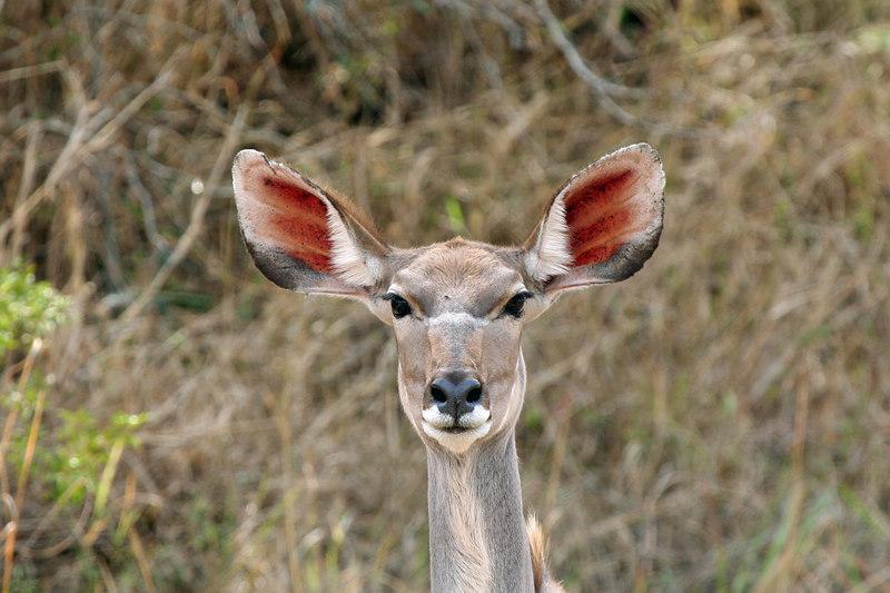 How about those ears, female Kudu
