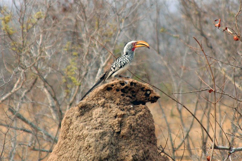 "Yellow billed Hornbill or as the Rangers call them ""The Flying Banana""."