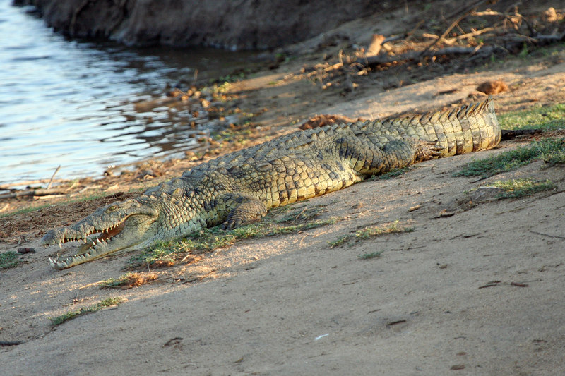 Great shot of a crocodile, not always easy to find out of the water.