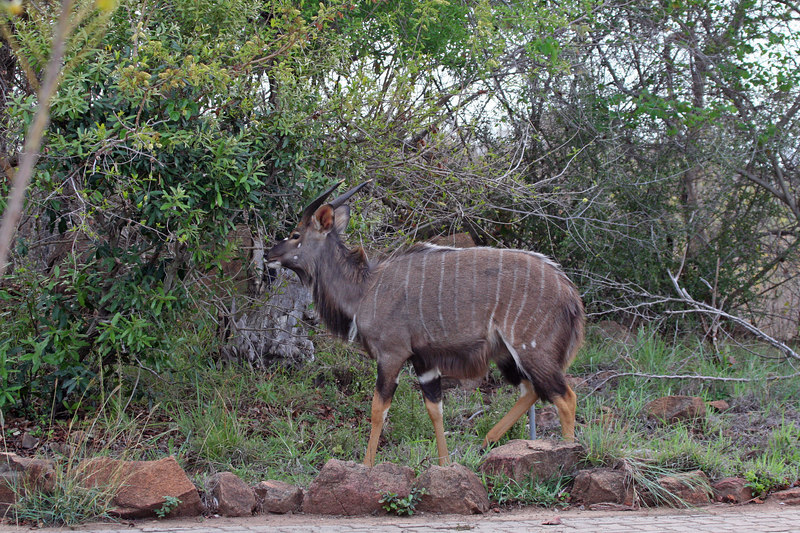 Nyala - like a Kudu but smaller. He was right in camp at Reception, we took this picture as we walked past.