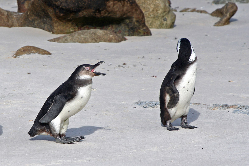 Penguins of Boulders Beach - nag, nag, nag.