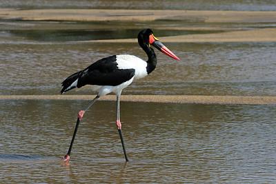 Saddle-billed Stork.