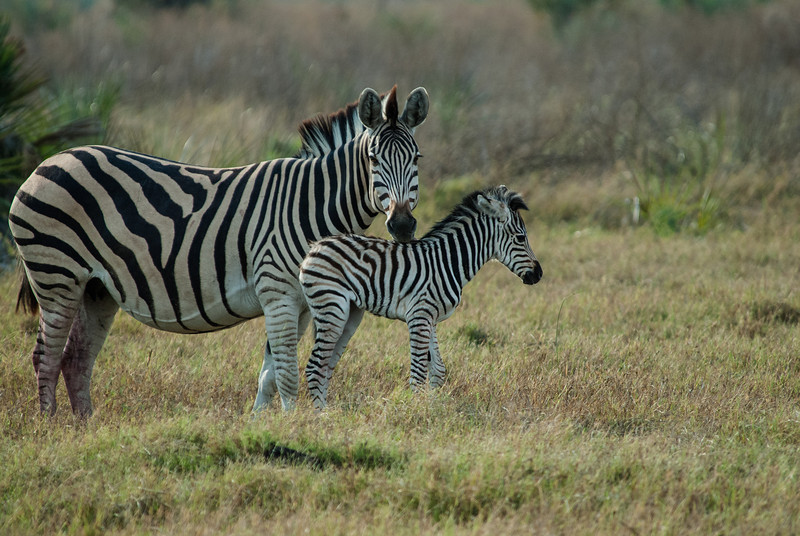 New-born zebra