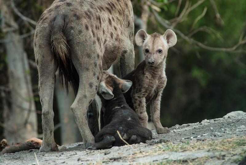 Baby Hyenas feeding