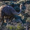 Female Ostrich.