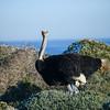 Male Ostrich.