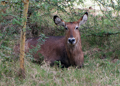 WATERBUCK DOE - LAKE NAIVASHA
