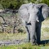 Elephant, Chitabe, Botswana (2)