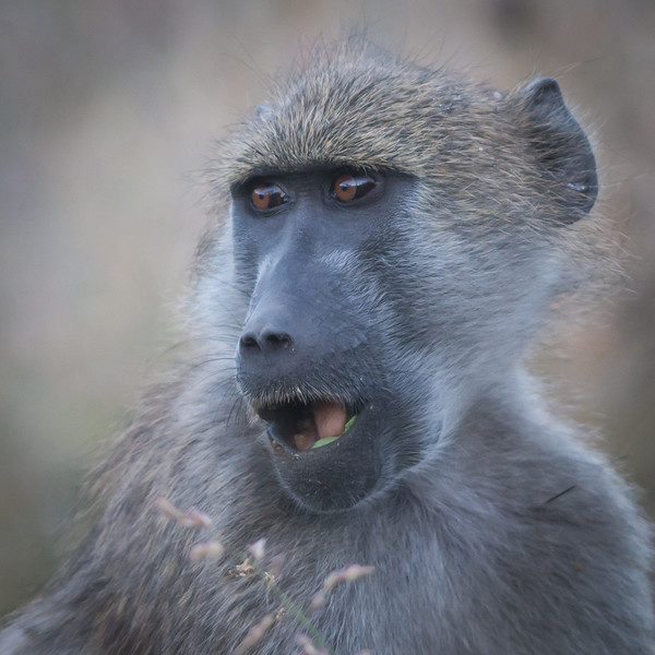Baboon, DumaTao, Botswana (2)