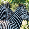 Two Zebras, DumaTao, Botswana