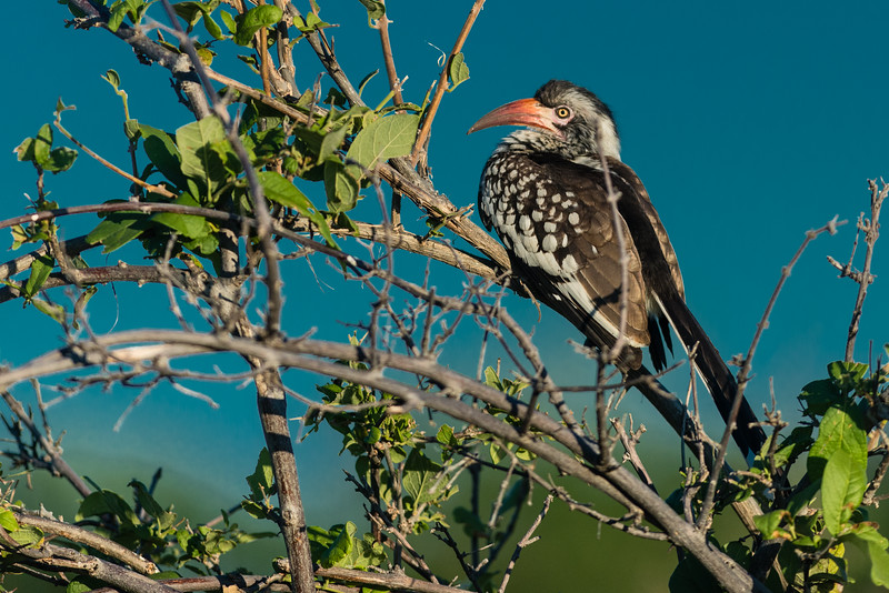 Red-billed Hornbill, DumaTao, Botswana
