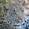 Female Leopard, Chitabe, Botswana (3)