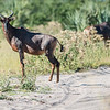 Tsessebe, Jao Camp, Botswana