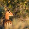 Impala, DumaTao, Botswana