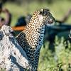 Female Leopard, Chitabe, Botswana (4)