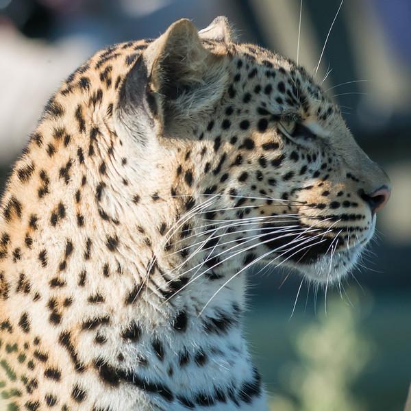 Female Leopard, Chitabe, Botswana (5)